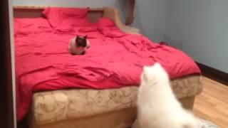 Самоед Deni vs кот Талисман