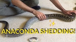 ANACONDA SHEDDING!