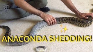 ANACONDA SHEDDING!