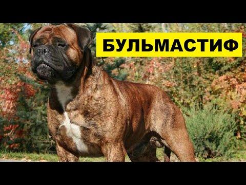 Собака Бульмастиф плюсы и минусы породы | Собаководство | Порода Бульмастиф