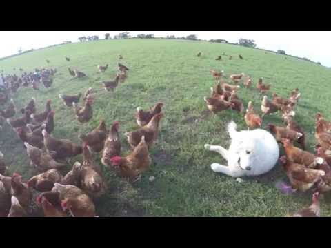 Earth Eggs Mareema (Guardian Dog) in the paddock with chickens