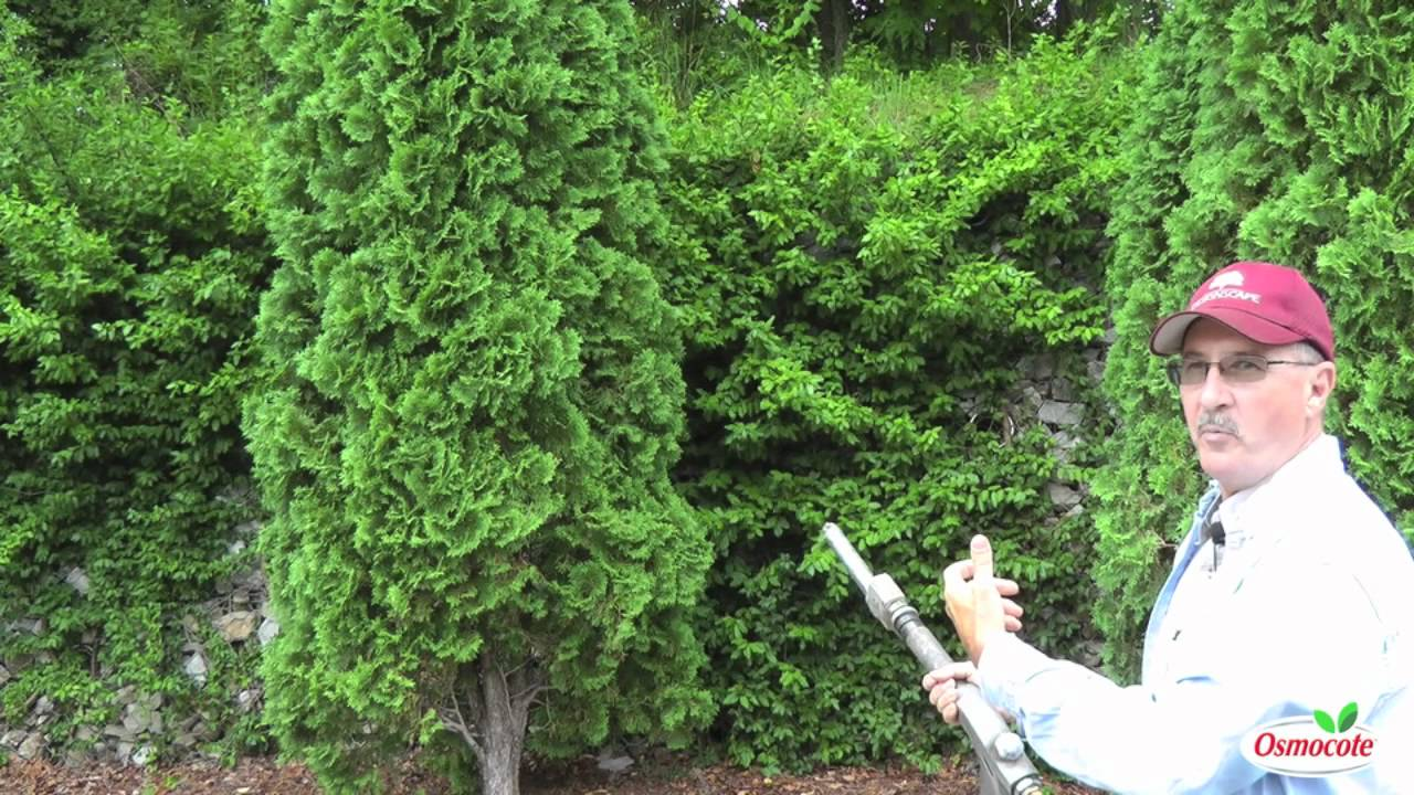 Garden Tutorial: Bagworms and Evergreens
