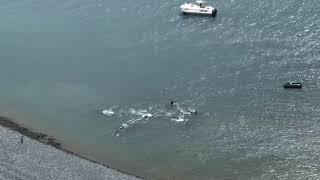 Косатки загнали к берегу кита на Нюклинской косе