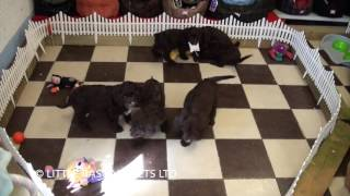 Little Rascals Uk Breeders New Litter Of Springer X Poodle Pups - Puppies For Sale UK
