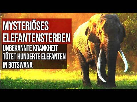 Mysteriöses Elefantensterben - Unbekannte Krankheit tötet hunderte Elefanten in Botswana