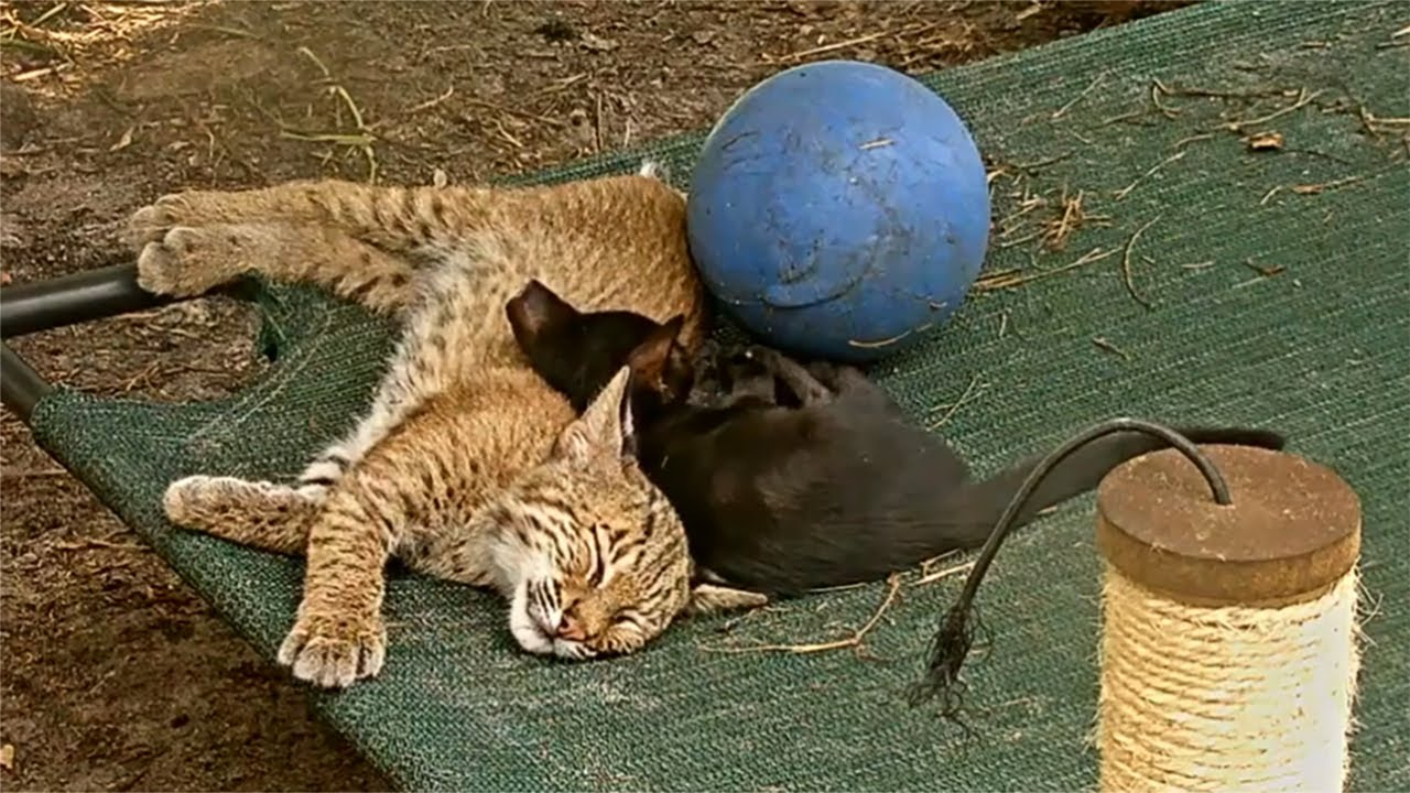 Baby Bobcat Makes Friends With Feral Kittens