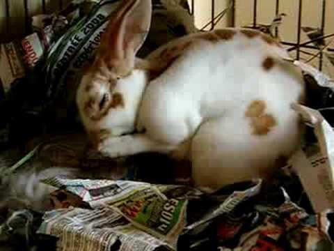rabbit-giving-birth-baby-bunnies