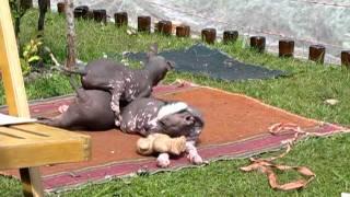 Щенки Мексиканской голой собаки.