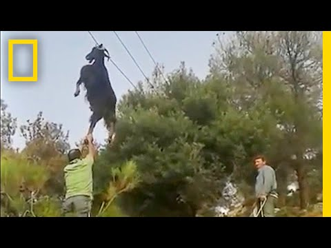 Thumbnail: Bizarre Rescue: How Do Goats Get Stuck in Odd Places? | National Geographic