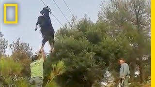 Bizarre Rescue  How Do Goats Get Stuck in Odd Places? | National Geographic