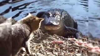 Отважные коты против крокодилов, змей, медведей, пумы, собак, рыси, лисы и прочих козлов.7