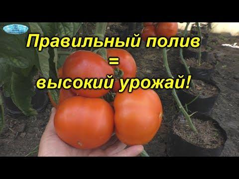 Правильный полив томатов.