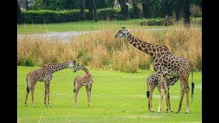 Jabari Giraffe Calf Joins Herd at Kilimanjaro Safaris Savanna at Disney
