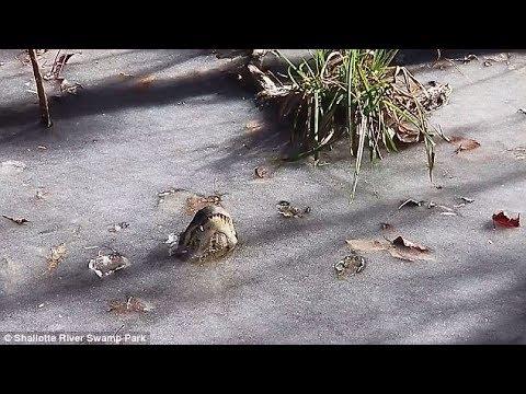 Por el frío, caimanes quedaron atrapados en un río congelado