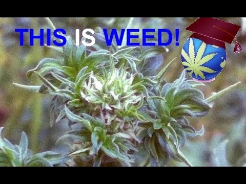 Australian Bastard Cannabis – Profile, Status Of A RARE, WEIRD & WILD Strain