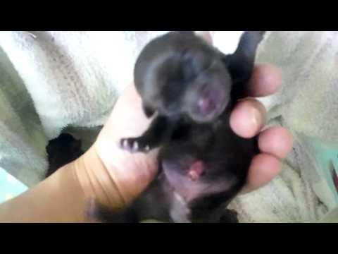 チワワ7匹出産 生まれたて!