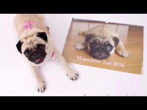 Kalender 2016 Motiv Mopsdame Zoé