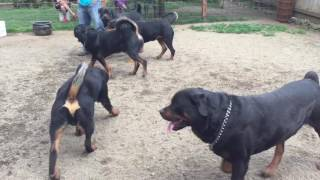 Pacheco Rottweilers Stud Males 2