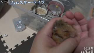 【Hamster】お婆ちゃんハムを手に乗せて 体調はいかが? thumbnail