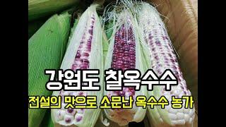 전설의 맛으로 소문난 강원도 옥수수 농가 찰옥수수 수확
