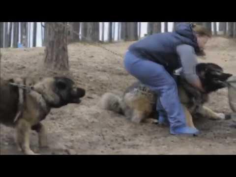 Caucasian Shepherd Youtube