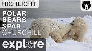 Churchill Polar Bears Spar To Show Dominance - Live Cam Highlight thumbnail