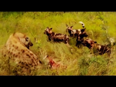Wild Dogs Kill A Kudu, Hyenas Then Steal It - 25 February 2013 - Latest Sightings