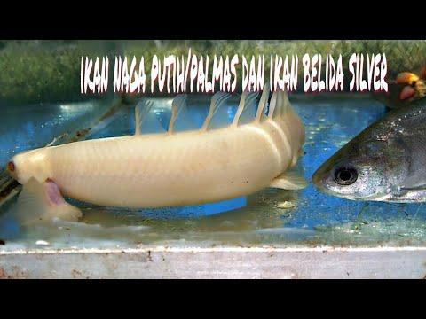 ikan naga putih dan ikan belida silver