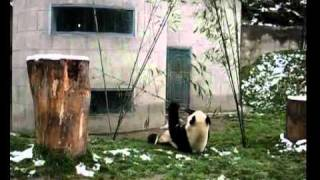 panda show video from China Odyssey Tours
