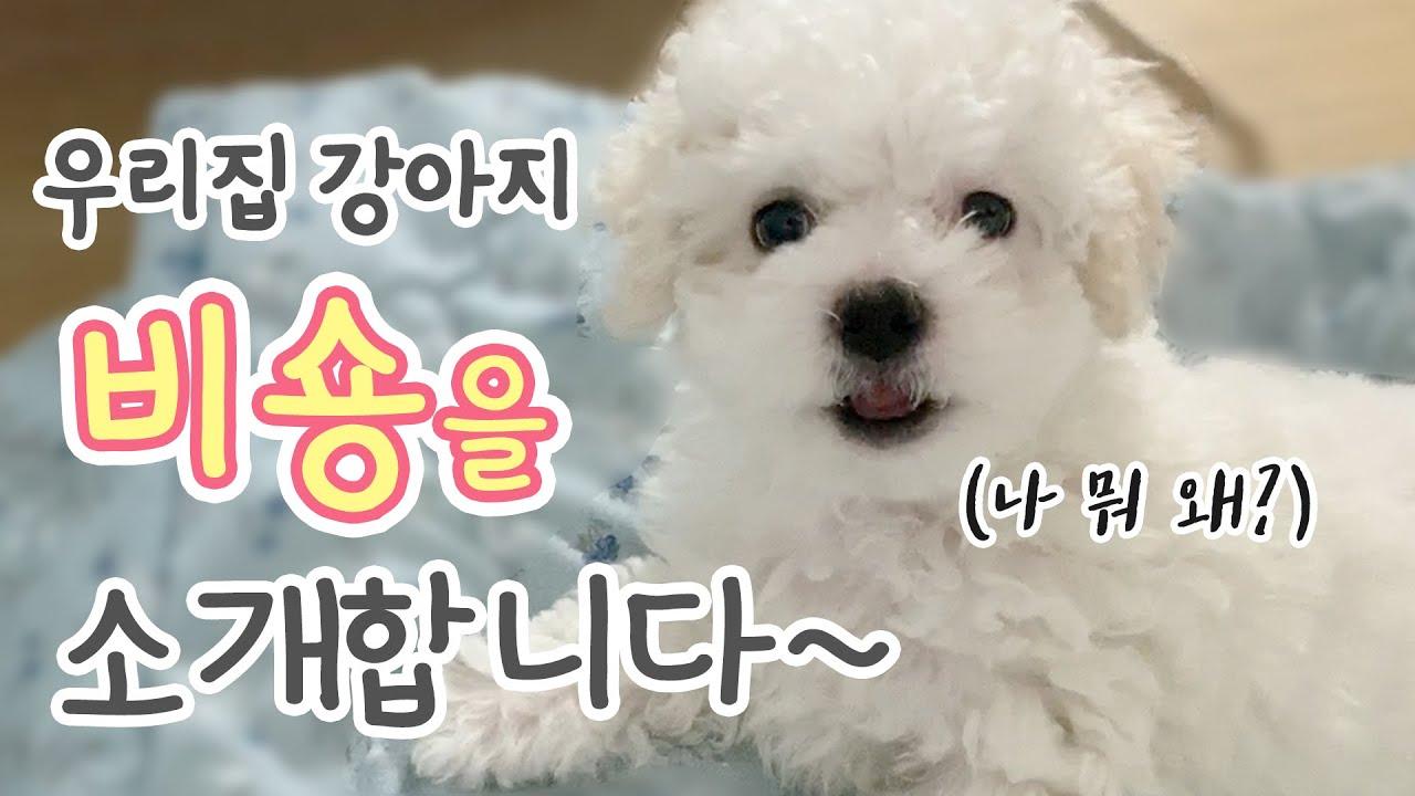 강아지 비숑프리제의 특징 3가지 (우리집강아지만 이런가..)