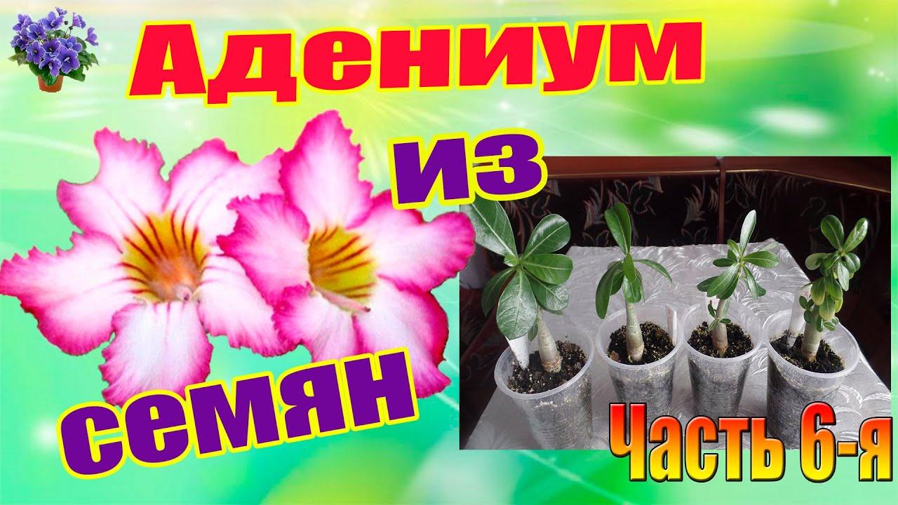 Выращивание Гибискуса из семян. Первое цветение - YouTube