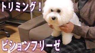 驚くほど可愛く散髪してもらった犬!ビションフリーゼ