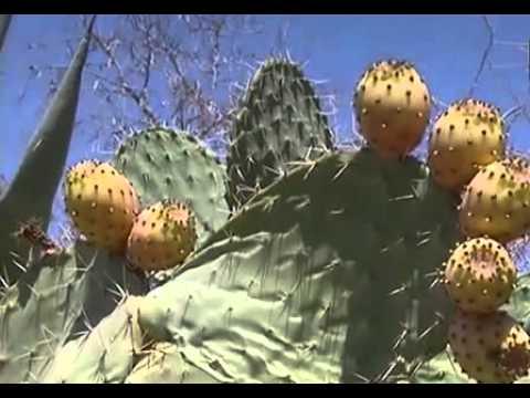comment enlever les pines de la plante pineuse poire cactus aspir es youtube. Black Bedroom Furniture Sets. Home Design Ideas