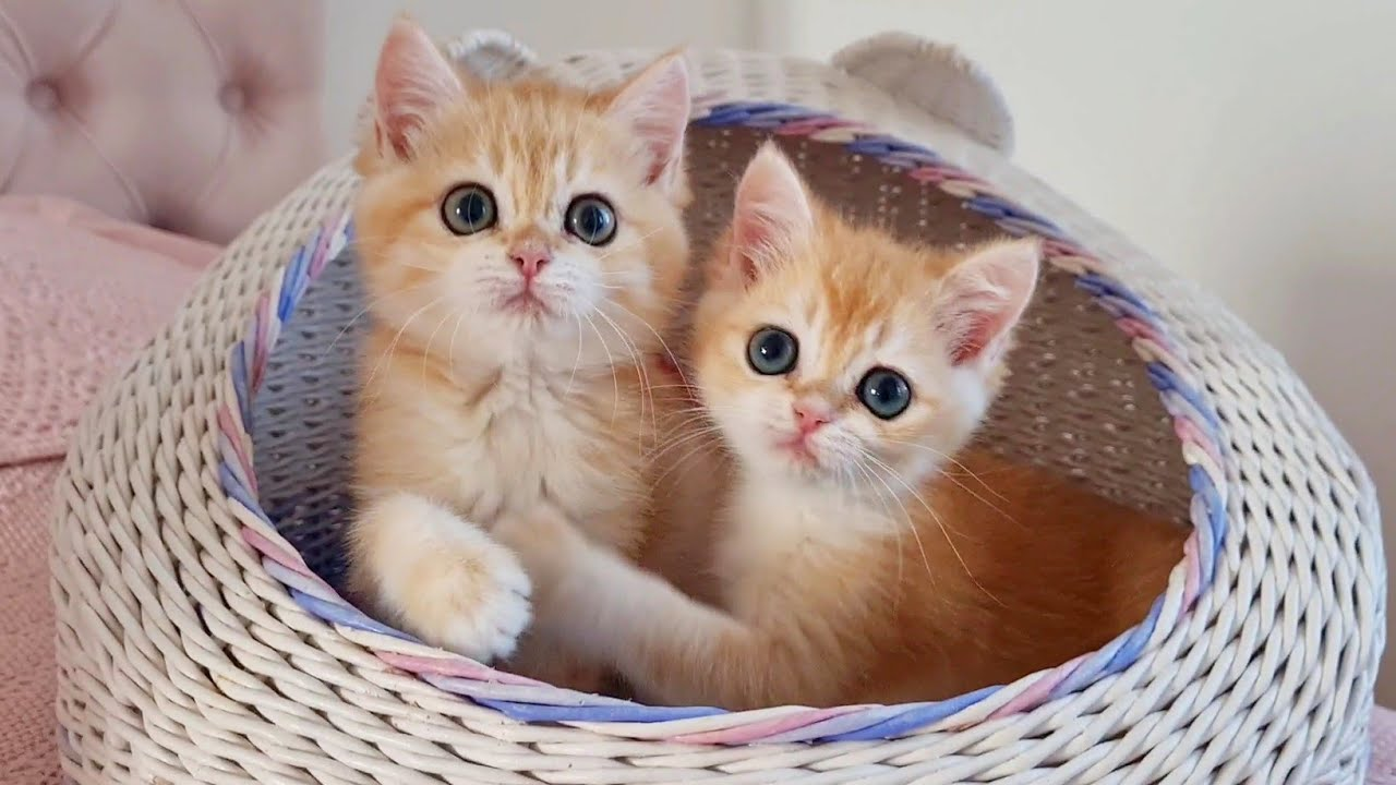 Please play with us 😊 Funny orange kittens