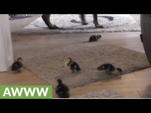 Ducklings explore house with new canine friend
