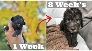 Adorable Puppies Growing up 08 Weeks, Puppy Development Stages, Bedlington Terrier Puppies
