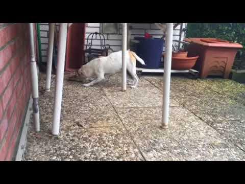 Jack Russel Terrier fights vs. Sunflower
