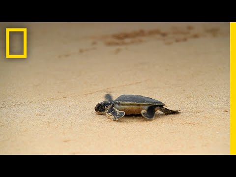 Rising Temperatures Cause Sea Turtles to Turn Female | National Geographic
