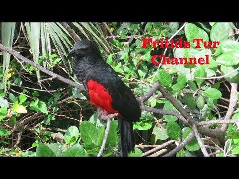 Cute Pesquet's Parrot (Psittrichas Fulgidus) Sound