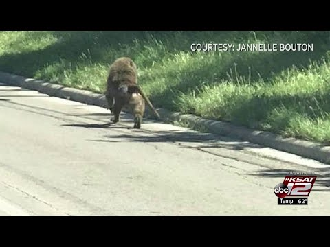 Baboons on the loose returned to Texas Biomedical Research Institute