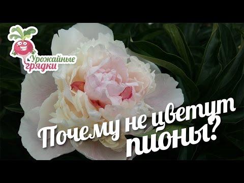 Вопрос: Когда зацветают цветы пионы и почему они быстро оцветают Мнения?