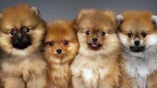 ТОП 10 Самые маленькие собаки в мире