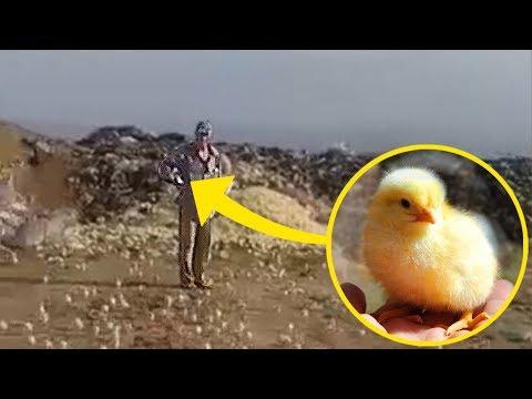 Personas Tiraron unos Huevos en un Vertedero. Después de un Tiempo, ¡Miles de Pollitos Nacieron!