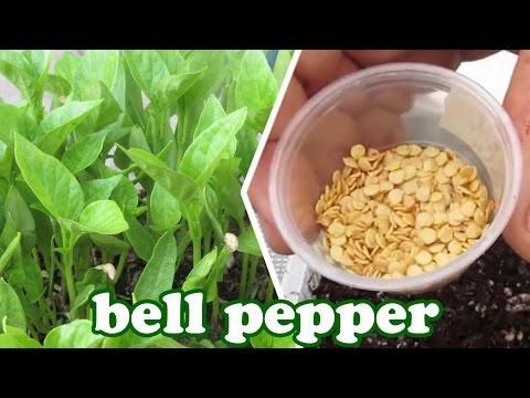 Red Bell Pepper Plants - Growing Peppers Seeds - Vegetables Plant Garden Container Gardening Jazevox
