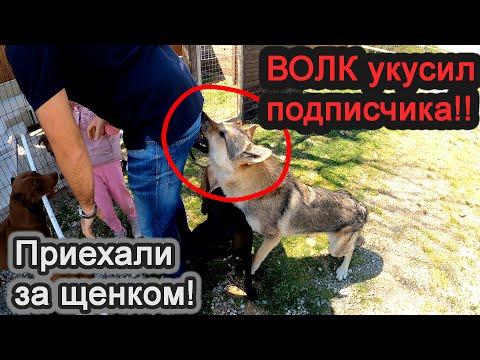 Видео: ВОЛК АЯВРИК УКУСИЛ ПОДПИСЧИКА!!! Приехали за щеночком!!!)