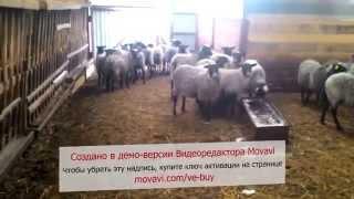 Романовские овцы продажа в Киргизию(ООО