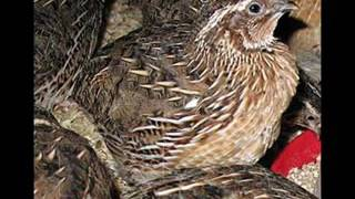Quail Farming Intro in urdu by Dr Ashraf Sahibzada
