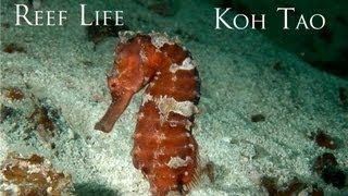 Reef LIfe - The HD Underwater Video from Koh Tao, Gulf of Thailand