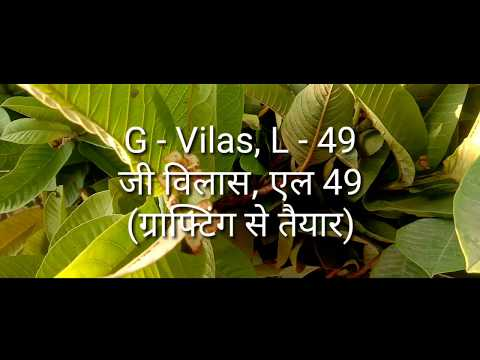 bfcb7fb15 G Viilas, L 49 Guava Plants by Green Culture Nurseries - YouTube