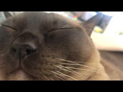 Burmese cat Matilda purring very loudly